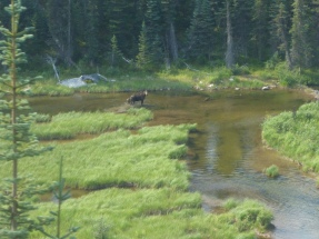 We saw a moose and her calf from the train!